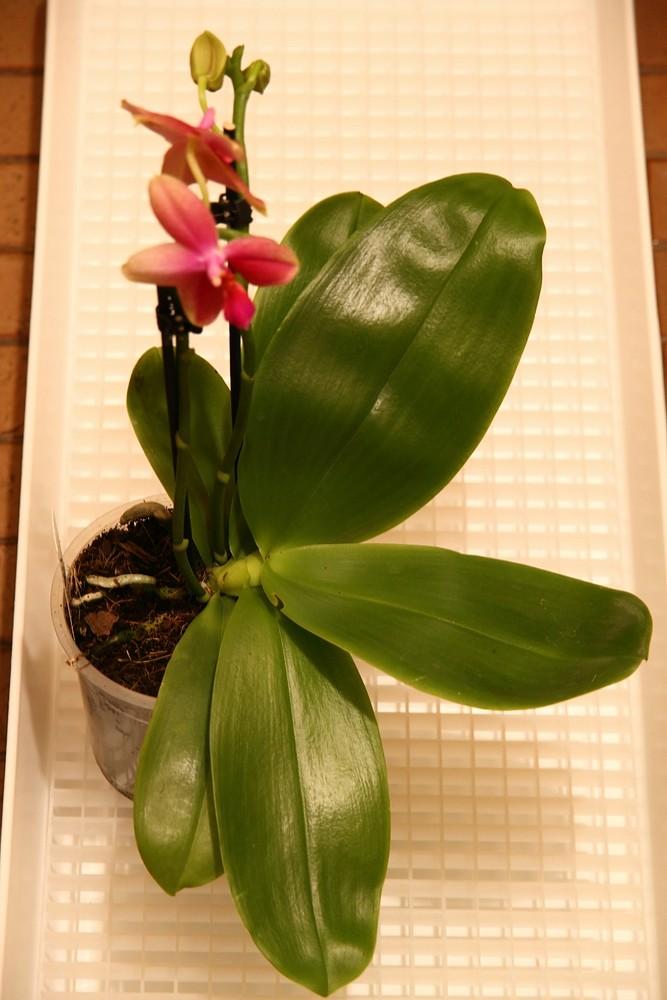 Orchideen-Neuzugang - Seite 41 Img_8818