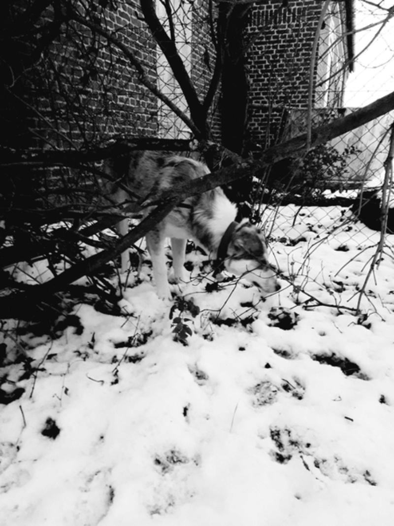 BALTO - mâle croisé Loup Tchécoslovaque ou Nordique ? de taille moyenne adulte, né en avril 2017 (PASCANI) - REMEMBER ME LAND - Adopté par Ludivine (80) - Page 2 20180212