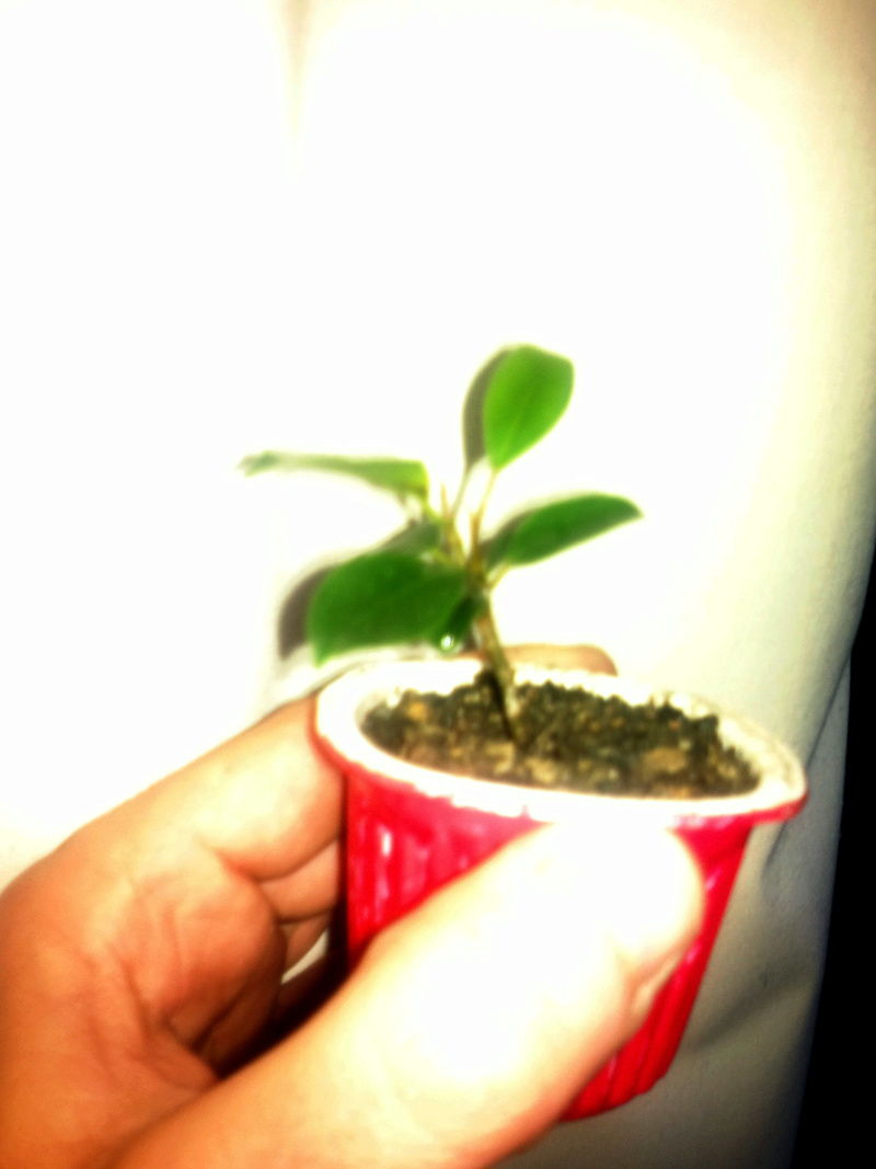 Evolución (2013-xxxx)y Trasplante Ficus Retusa a colador (2018) 2013-010