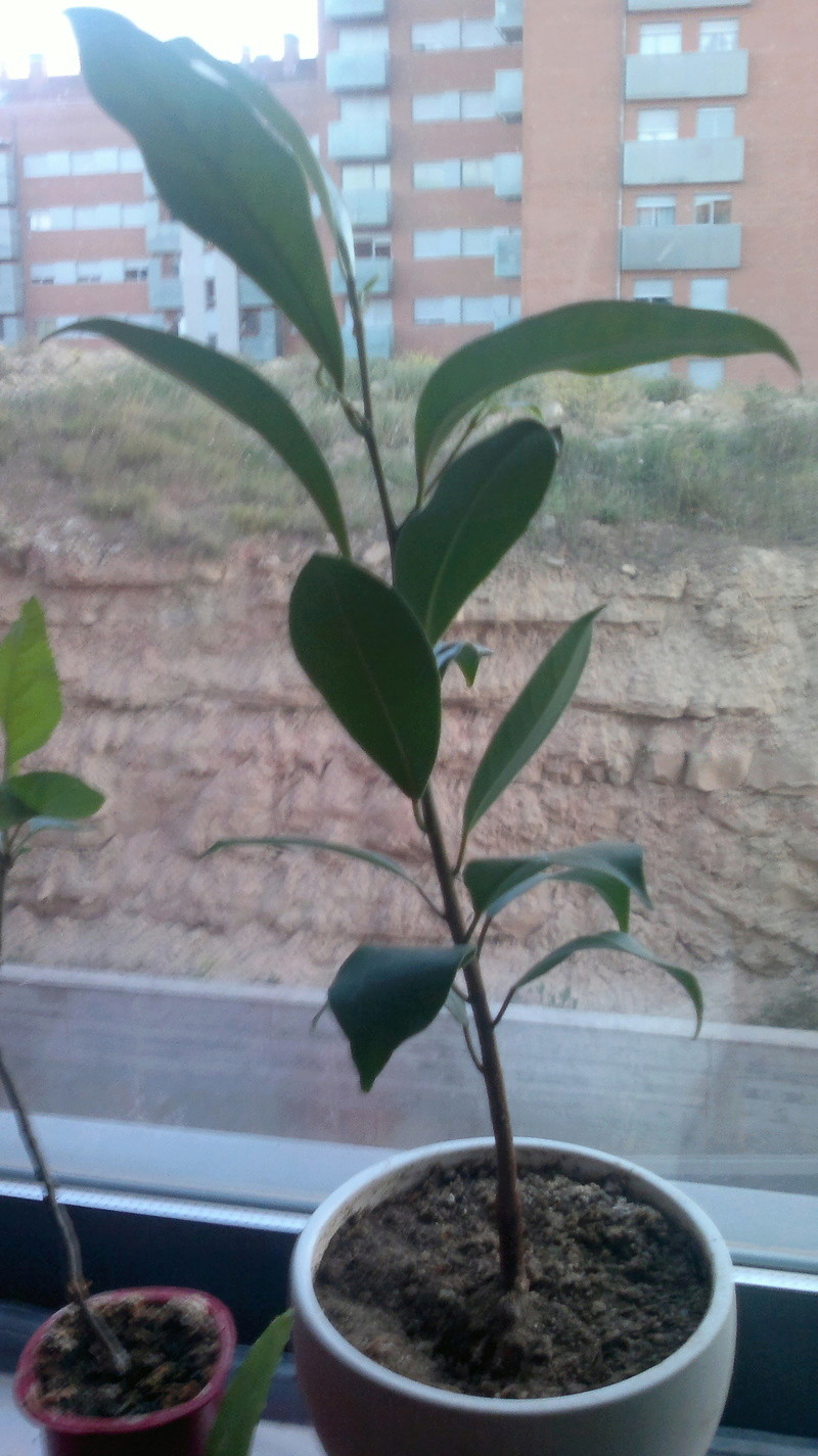 Evolución (2013-xxxx)y Trasplante Ficus Retusa a colador (2018) 2014-010