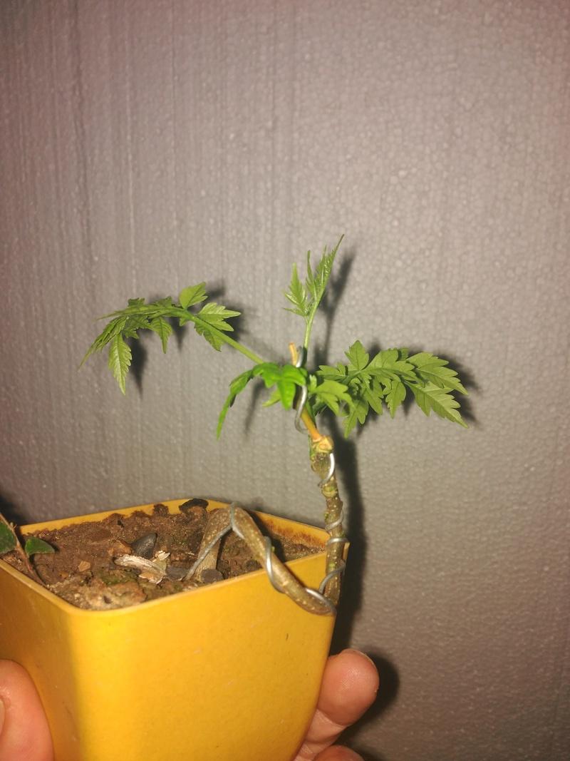 Cinamomo(melia azedarach) desde semilla Img_2012