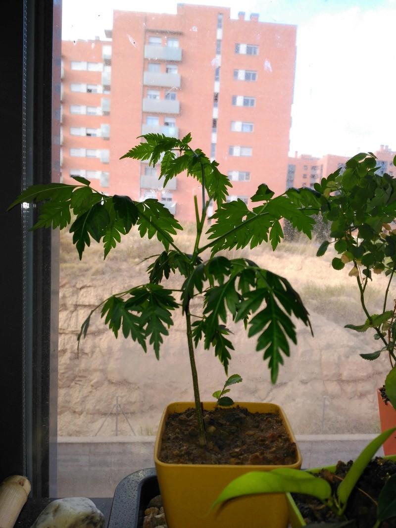 Cinamomo(melia azedarach) desde semilla Img_2013