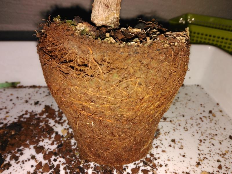 Evolución (2013-xxxx)y Trasplante Ficus Retusa a colador (2018) Img_2021