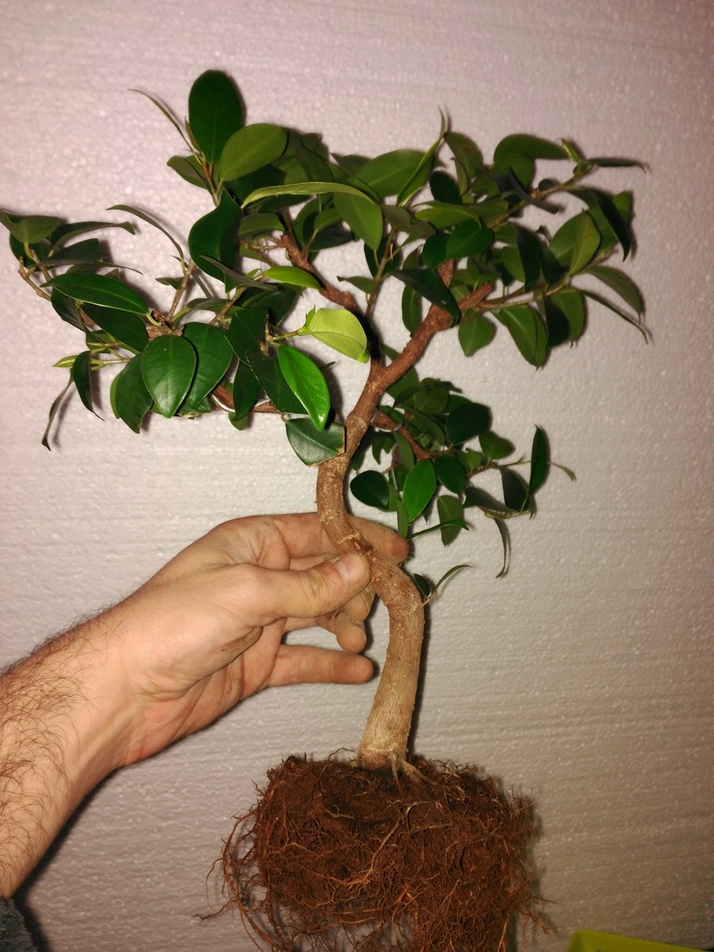 Evolución (2013-xxxx)y Trasplante Ficus Retusa a colador (2018) Img_2022