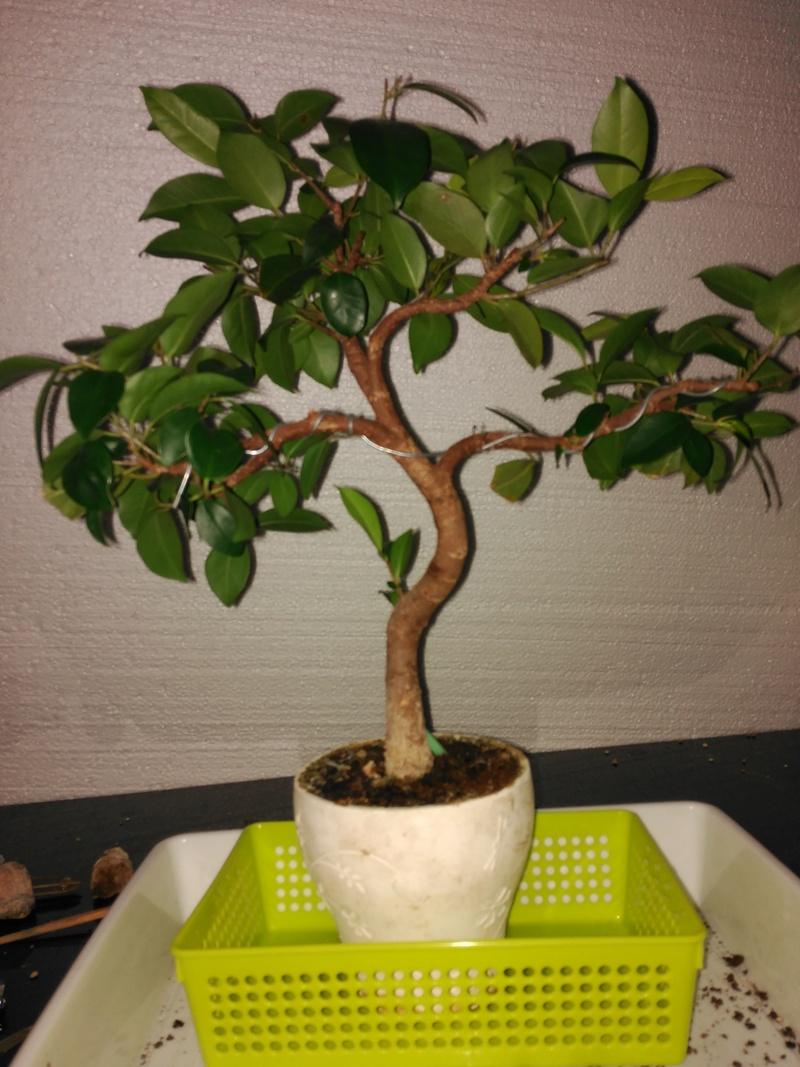 Evolución (2013-xxxx)y Trasplante Ficus Retusa a colador (2018) Img_2024