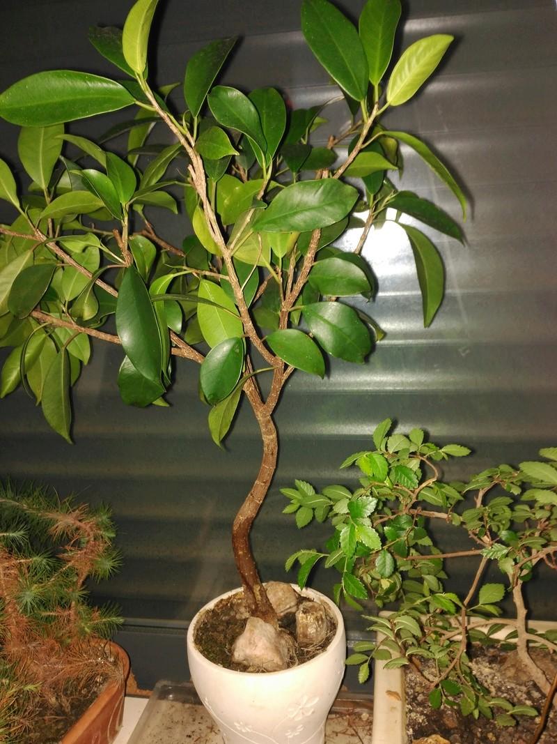 Evolución (2013-xxxx)y Trasplante Ficus Retusa a colador (2018) Img_2027