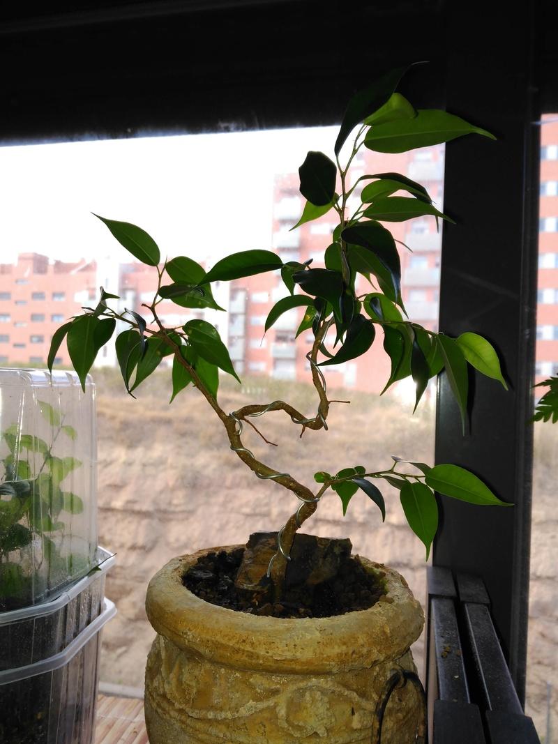 Evolución Ficus Benjamina 1 (2017-...) Img_2060