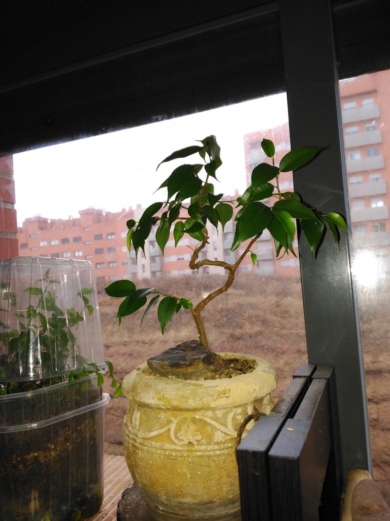 Evolución Ficus Benjamina 1 (2017-...) Img_2062