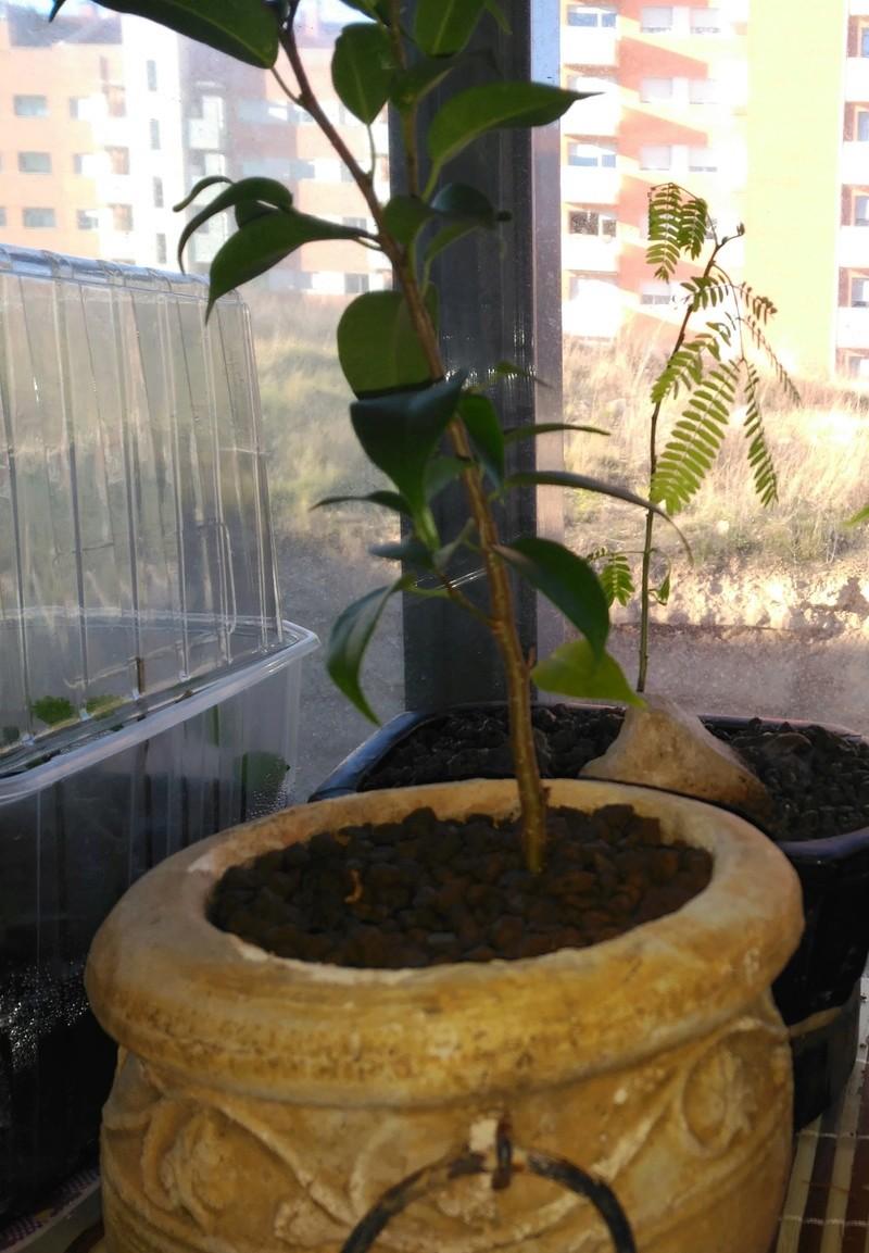 Evolución Ficus Benjamina 1 (2017-...) Img_2064