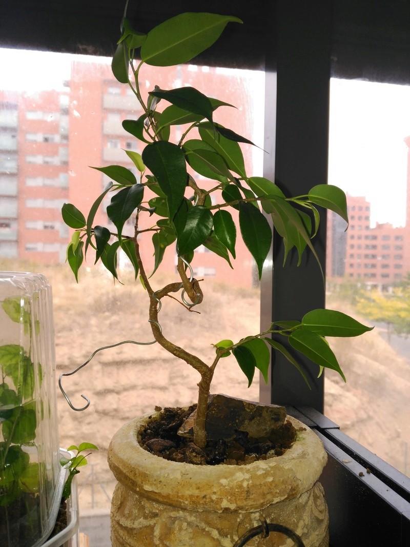 Evolución Ficus Benjamina 1 (2017-...) Img_2065