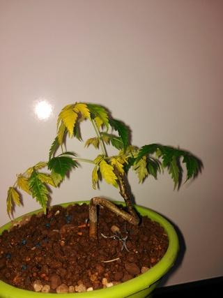 Hojas amarillas cinamomo Img_2107