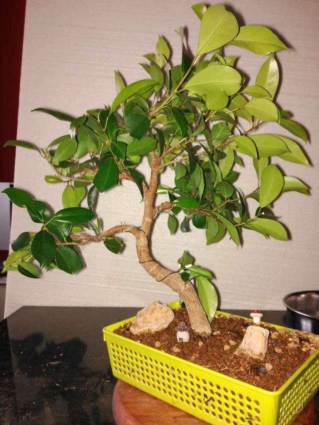 Evolución (2013-xxxx)y Trasplante Ficus Retusa a colador (2018) Img_2108