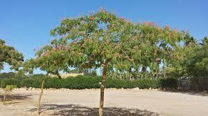 Semillas acacia constantinopla 023bbb10