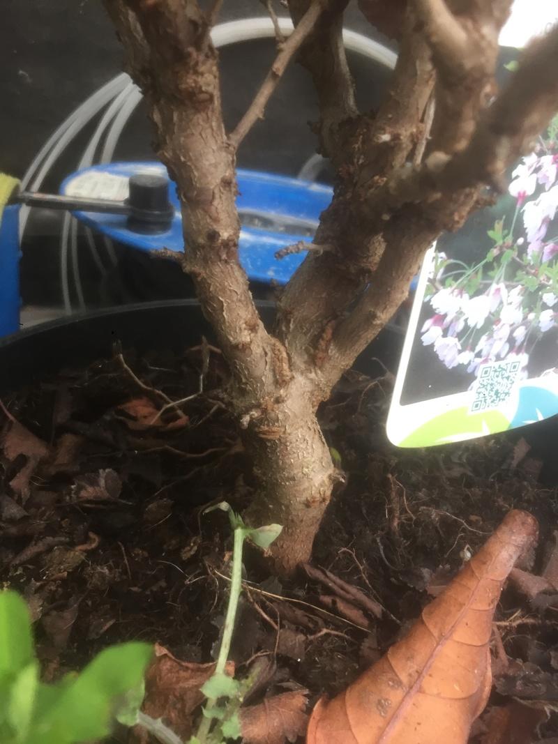 "Prunus incisa ""kojou-no-mai"" 0a773010"