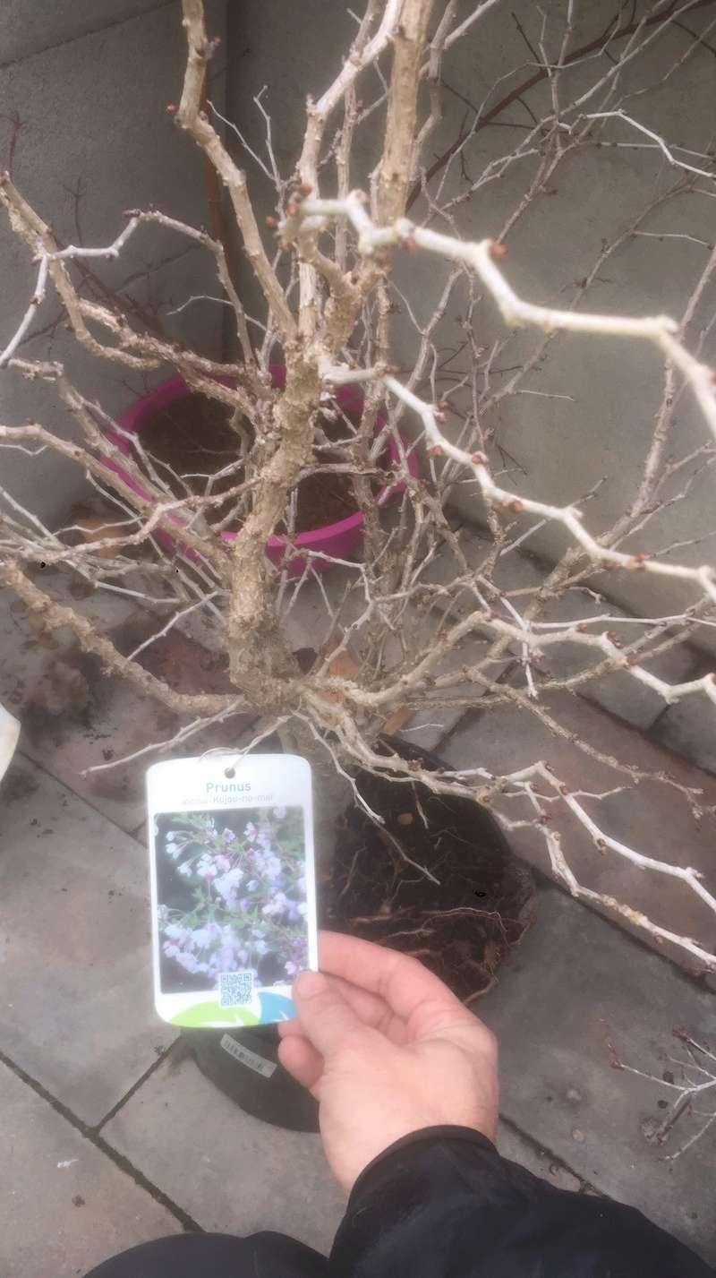 """Prunus incisa """"kojou-no-mai"""" 8b402310"""