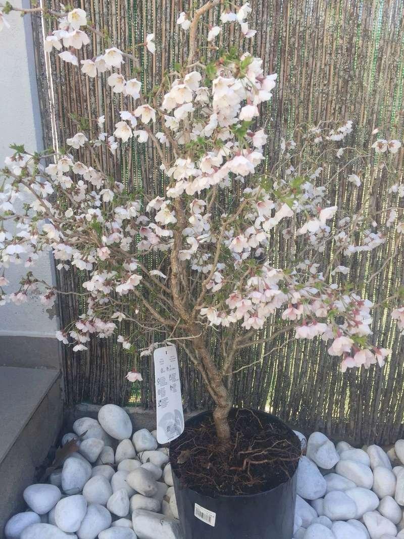 "Prunus incisa ""kojou-no-mai"" A4845f10"