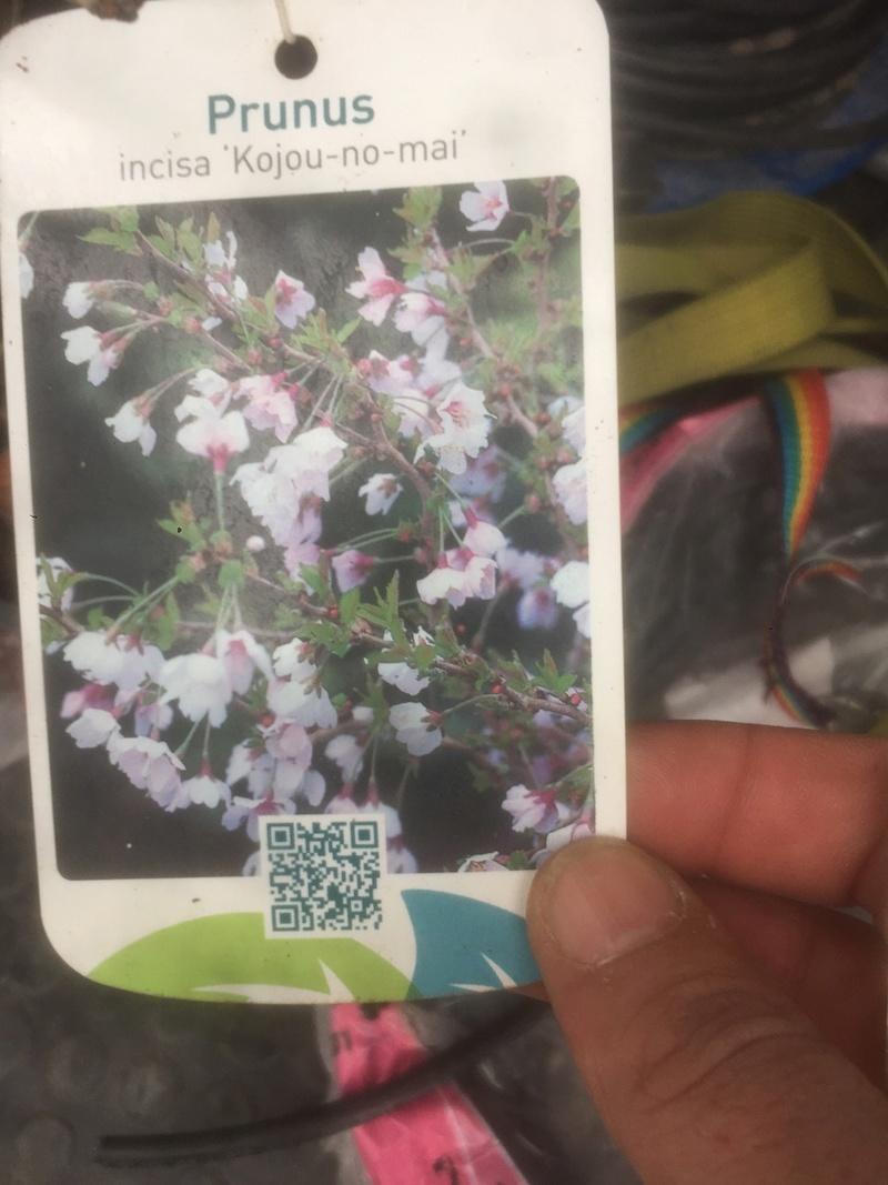 """Prunus incisa """"kojou-no-mai"""" Ae0fb710"""