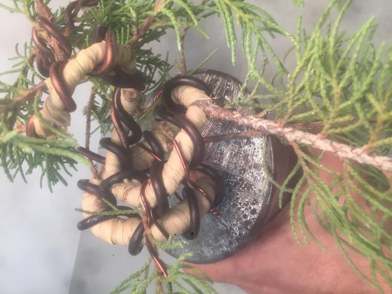 """Junipero chinensis Sargentii """" El retorcido"""" C1337710"""