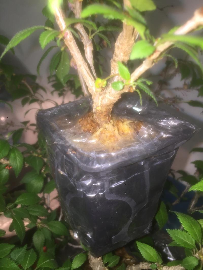 "Prunus incisa ""kojou-no-mai"" C6ccd310"