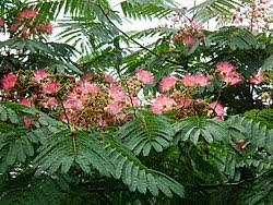 Semillas acacia constantinopla D2fa9510