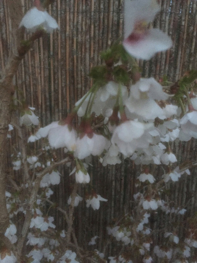 "Prunus incisa ""kojou-no-mai"" Dbedbe10"