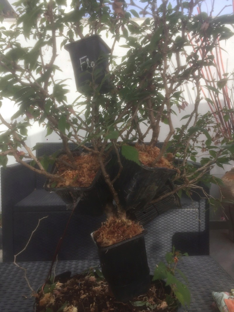 "Prunus incisa ""kojou-no-mai"" Df4d6710"