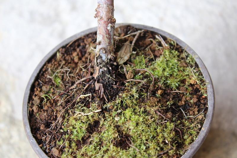 """Junipero chinensis Sargentii """" El retorcido"""" Junipe10"""