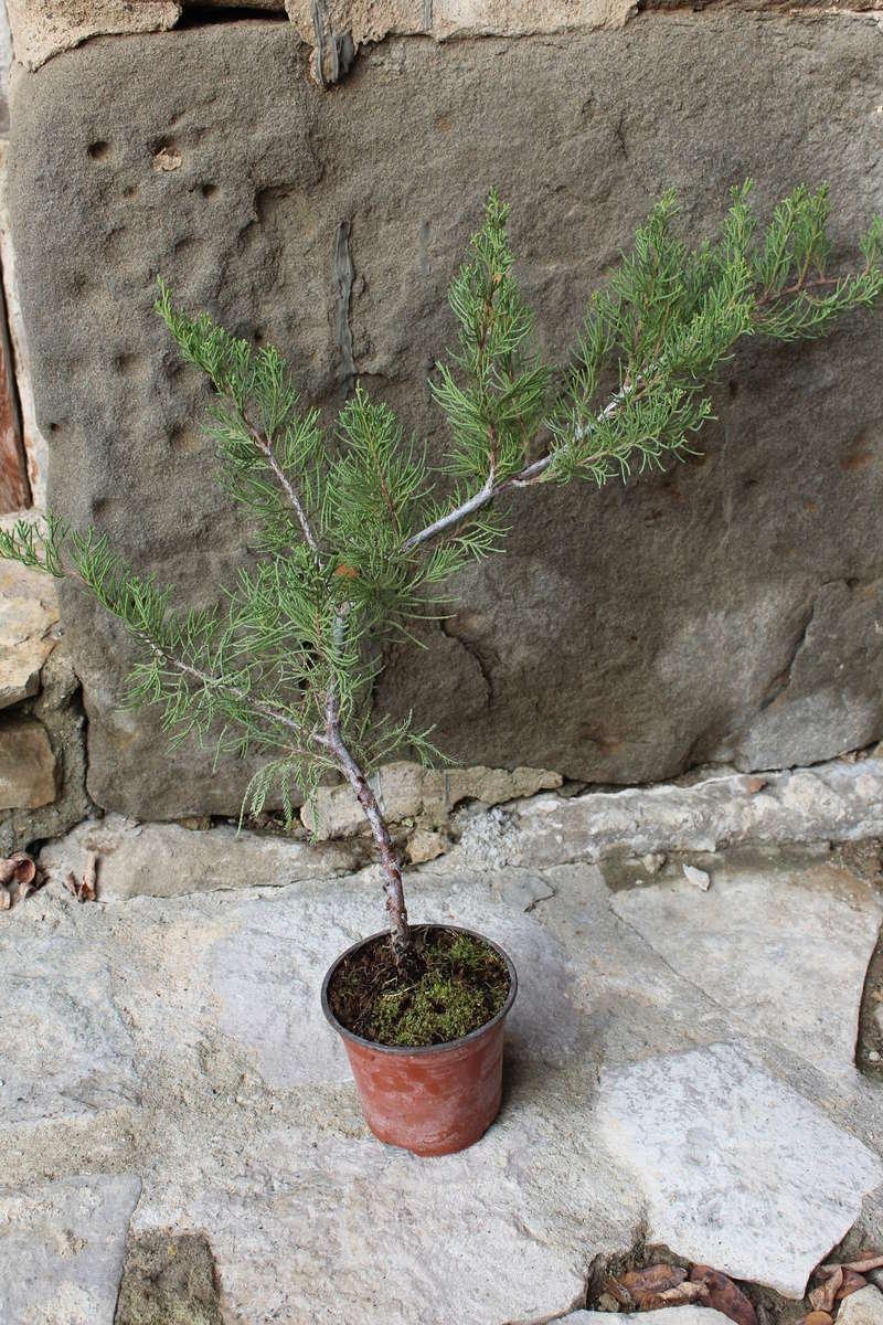 """Junipero chinensis Sargentii """" El retorcido"""" Junipe11"""
