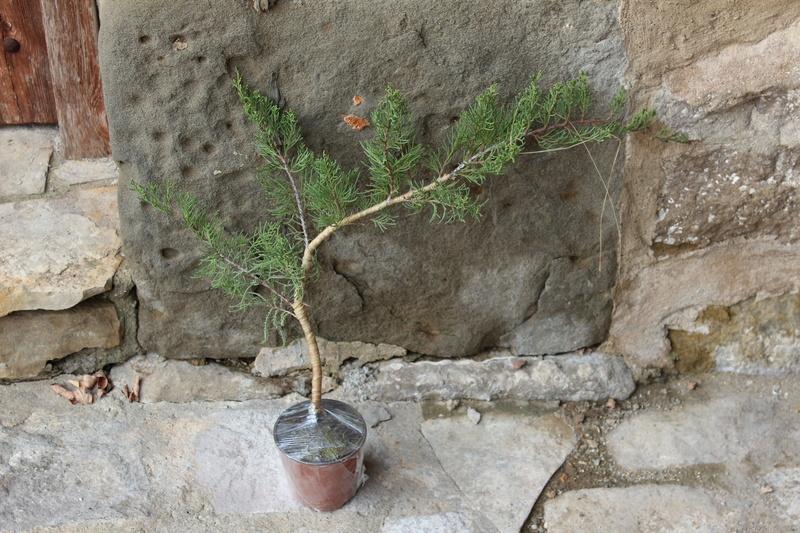 """Junipero chinensis Sargentii """" El retorcido"""" Junipe14"""