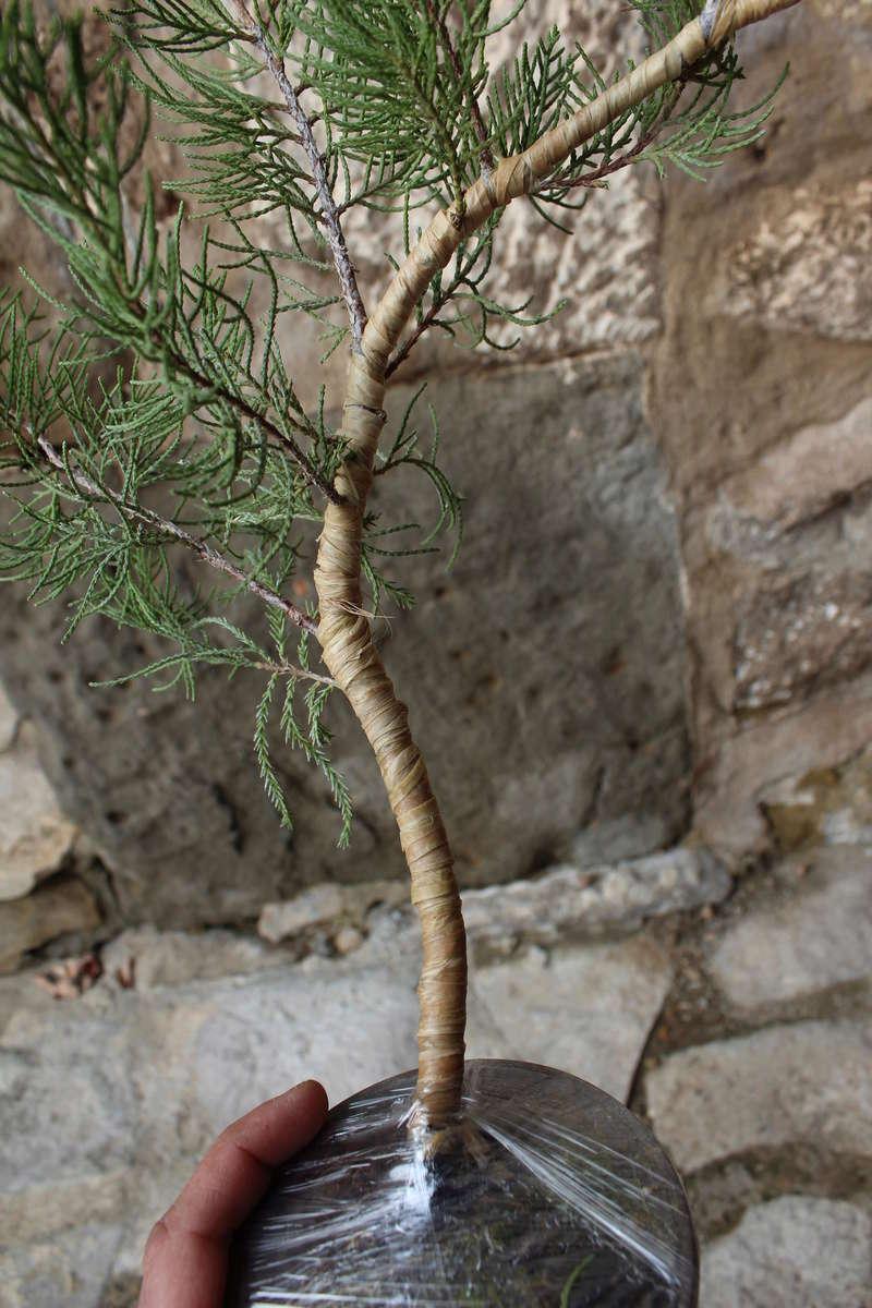 """Junipero chinensis Sargentii """" El retorcido"""" Junipe15"""