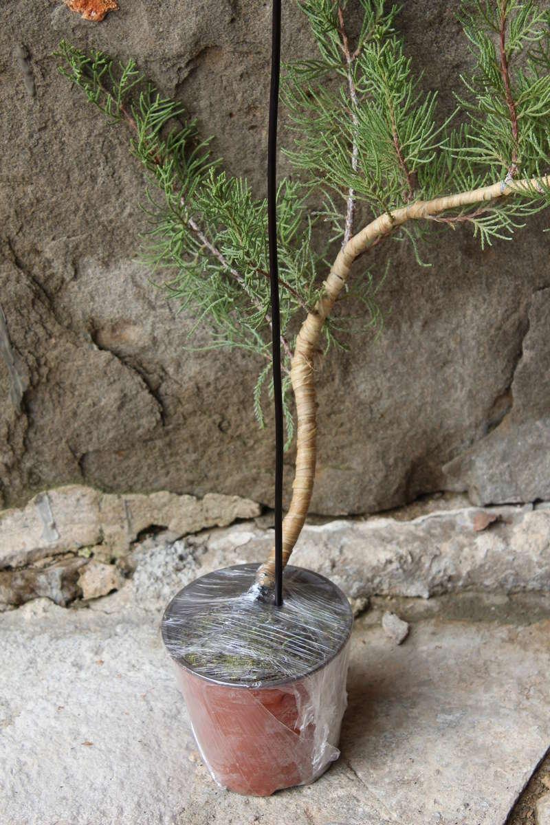 """Junipero chinensis Sargentii """" El retorcido"""" Junipe17"""