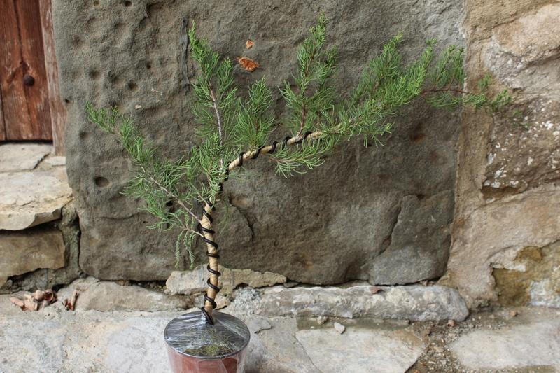 """Junipero chinensis Sargentii """" El retorcido"""" Junipe18"""
