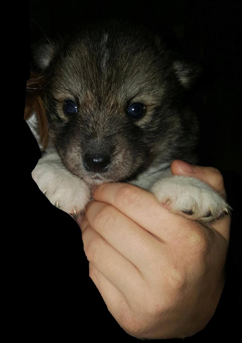 Nazca, Husky croisée australien  Img_2019