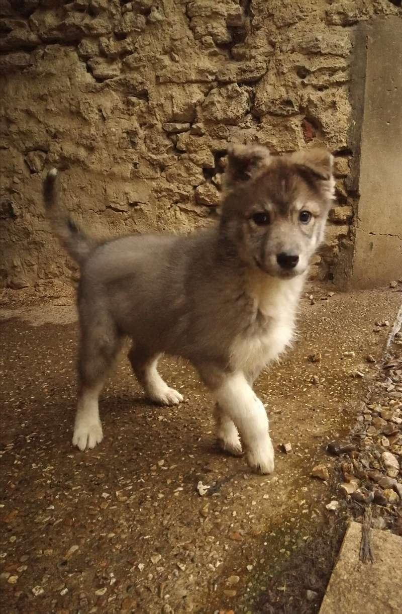 Nazca, Husky croisée australien  Img_2020