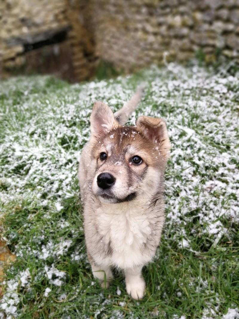 Nazca, Husky croisée australien  Img_2022