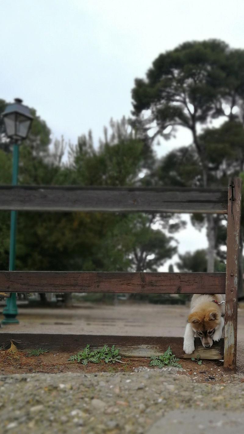 Nazca, Husky croisée australien  - Page 2 Screen11