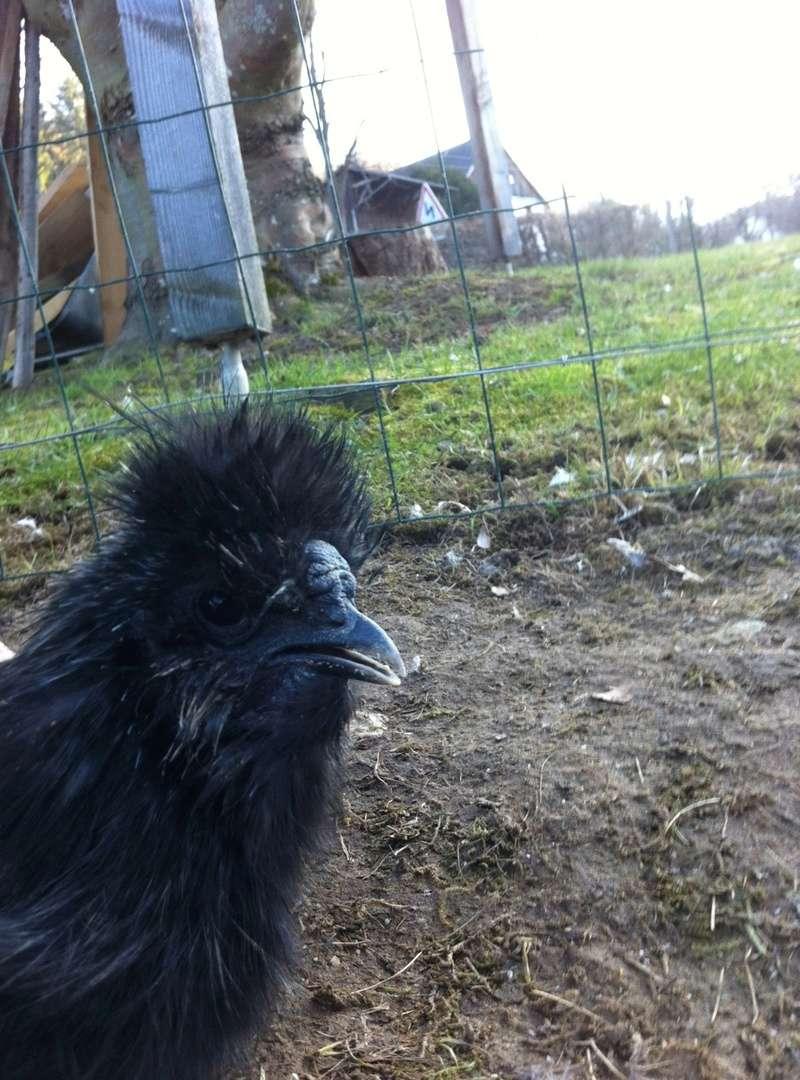 Cherche poule qui se prend pour coq Photo_12