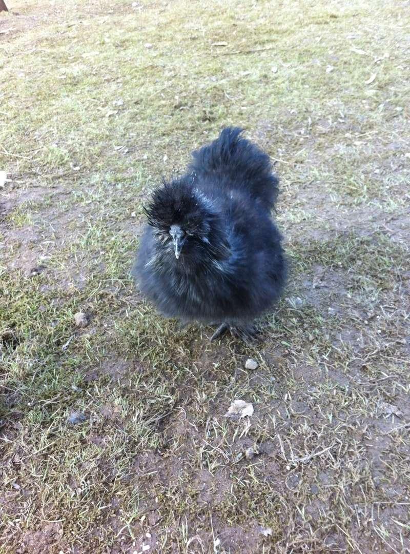 Cherche poule qui se prend pour coq Photo_15