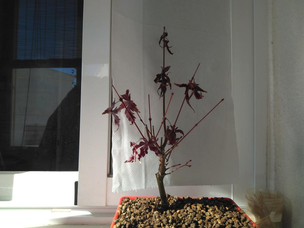 Acer palmatum yamamomiji. Evolución desde plantón Img_2017
