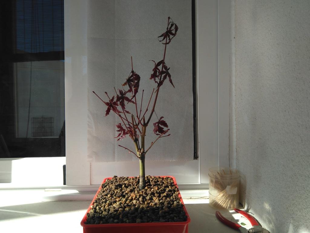 Acer palmatum yamamomiji. Evolución desde plantón Img_2018