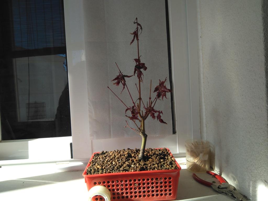 Acer palmatum yamamomiji. Evolución desde plantón Img_2019