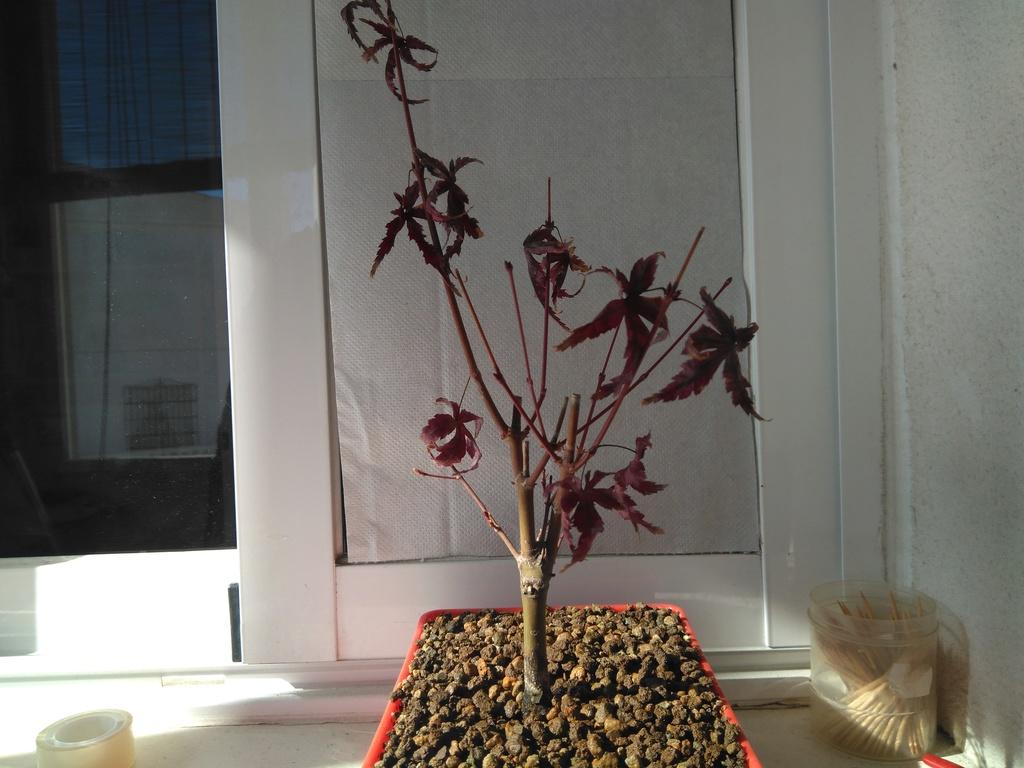 Acer palmatum yamamomiji. Evolución desde plantón Img_2020
