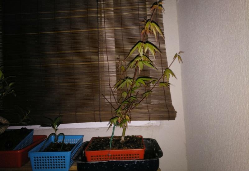 Acer palmatum yamamomiji. Evolución desde plantón Img_2046