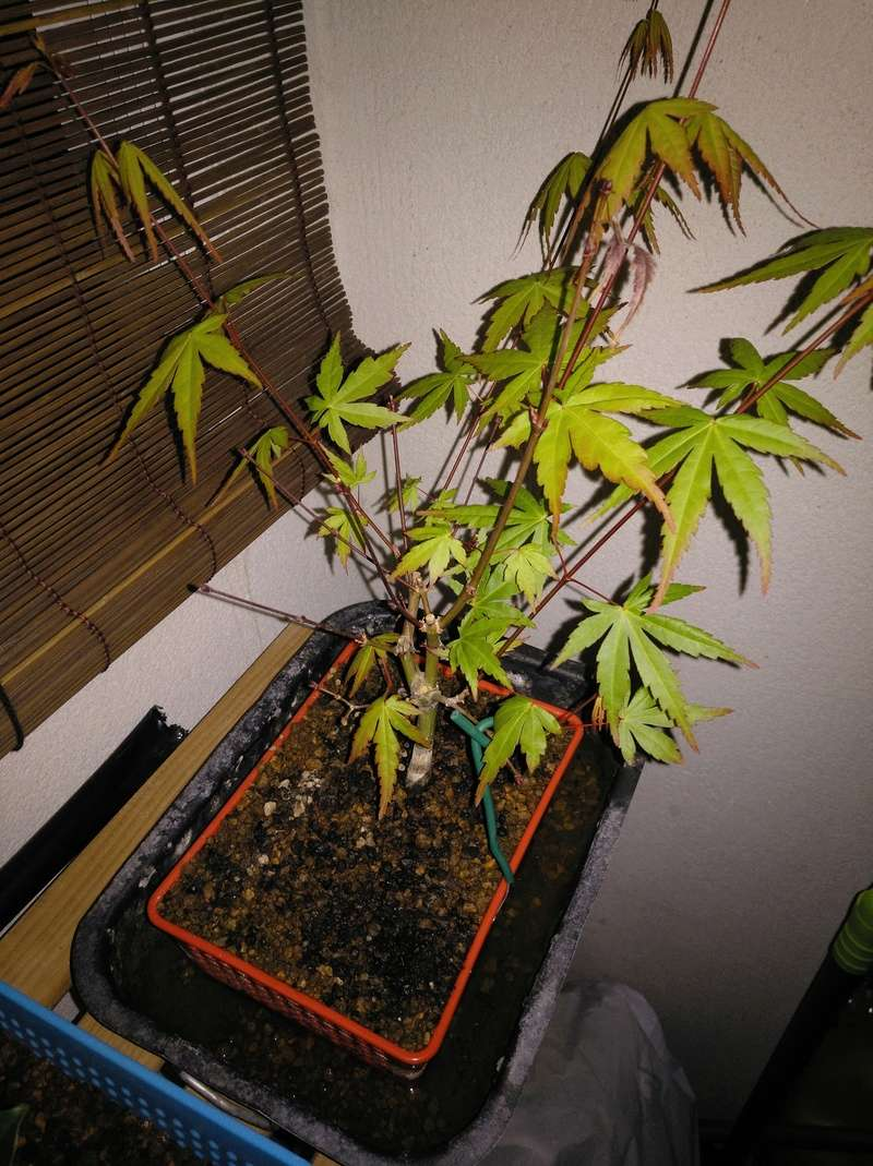 Acer palmatum yamamomiji. Evolución desde plantón Img_2048