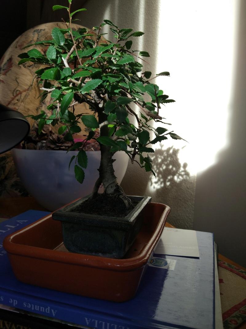 Zelkova, Mi primer bonsái Img_2010