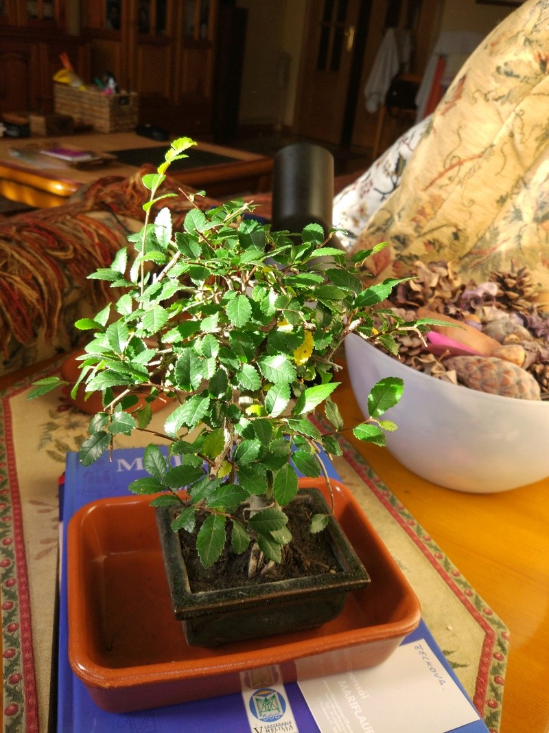 Zelkova, Mi primer bonsái Img_2012