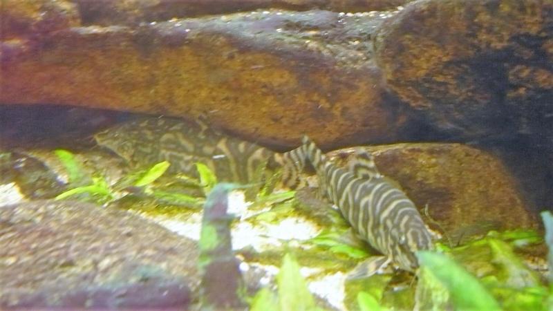 Botia et crevette du Gabon P1040211
