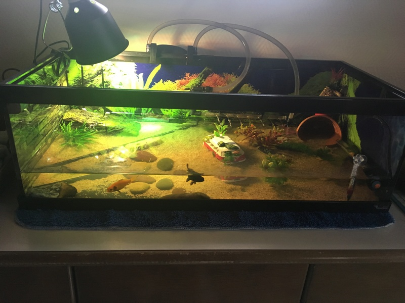 Avis sur mon aquaterrarium ->  Première tortue pelomedusa Img-3010