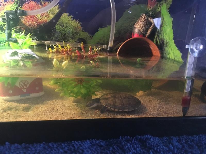 Avis sur mon aquaterrarium ->  Première tortue pelomedusa Img-3011