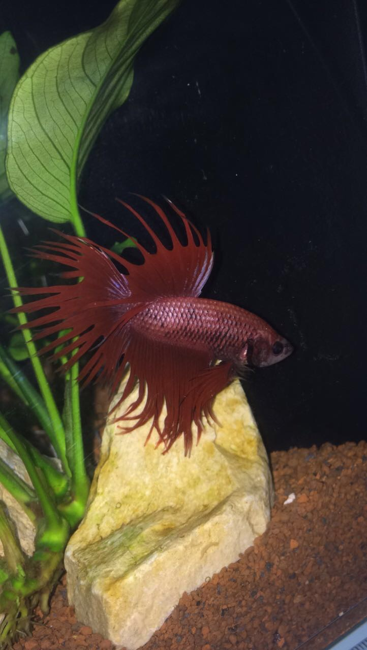 Mon petit Red (crowntail) Img_0213